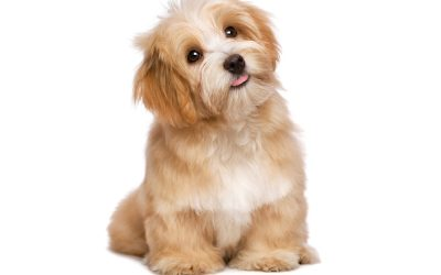 Which dog breed is right for you? Pedigrees or Cross Breeds?